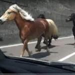 L'auto si scontra con due cavalli liberi sulla strada: proprietario responsabile